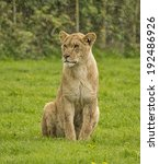 Young Female Lion Sitting In...