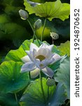 Fine Art Beautiful White Lotus...