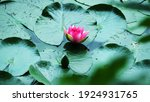 Large Bud Of Pink Lotus With...