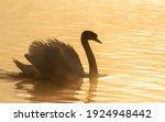 Mute Swan  Cygnus Olor. The...