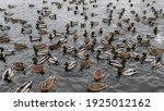 Many Green Headed Male Ducks...