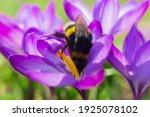 Big Bumblebee Pollinates A...