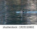 Black Cormorants Swimming In...
