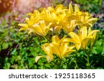Yellow Lilys Bloom In The...