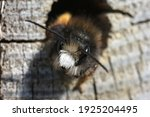 Closeup Of Emerging Male Horned ...