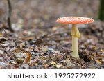 Toadstool  Close Up Of A...