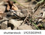 Brown Grasshopper Very Well...