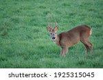 Buck Roe Deer Feeding In A...