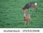 Roe Deer Feeding In A Field Of...
