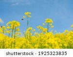 Rapeseed Field On A Sunny Day...