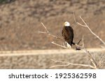 Bald Eagle On A Branch In The...