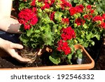 A Geranium Is Planted In A...