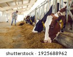 Healthy dairy cows feeding on...