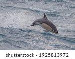 Short Beaked Common Dolphin In...