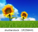 Two Bright Colors Sunflowers O...