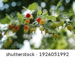 Small photo of Fresh red gooseberries on branch of gooseberry bush in the fruit garden. Close-up view of gooseberry berries hanging under the leaves.