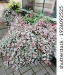 Bush Variegate Blooming Fuchsia ...
