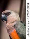 The Red Bellied Parrot ...