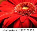 The Flower Of Red Gerber ...