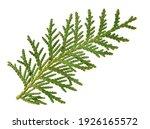 White Cedar Foliage Fragment ...