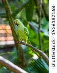 Small photo of The rose-ringed parakeet (Psittacula krameri) is a medium-sized parrot in the genus Psittacula, of the family Psittacidae. It has disjunct native ranges in Africa and South Asia.
