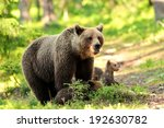 Brown Bear With Cubs In The...