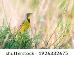 Yellow Throated Longclaw Bird...