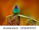 Blue Head Hummingbird. Golden...
