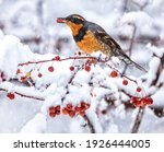 Varied Thrush Eating A Berry...