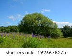 A Big Tree In A Meadow With...
