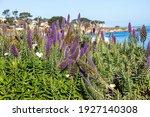 Purple Flowers By The Coast In...
