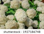 Huge Annabelle Hydrangea White...