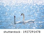 Two Graceful White Swans...
