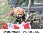 Portrait Of A Red Panda In Zoo
