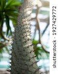 Madagascar Palm Tree ...
