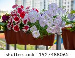 Petunias In A Pot On The...