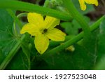 Cucumber Beetles  With Their...