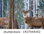 Red Young Deer In Winter Forest....