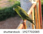 The Barred Parakeet...