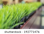 Fresh Thick Grass In Pots With...