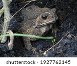 Thailand Toad Animal In The...