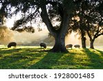 Small photo of Iberian pigs eating in the Dehesa with rays of light behind the cork oak