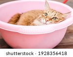 A Fiery Red Fluffy Cat Looks...