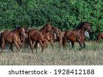 Montana Ranch Horse Herd In A...