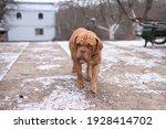 Red Domestic French Mastiff...