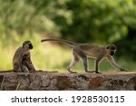 Funny Baboons In Tsavo East...