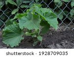 A Healthy  Young Cucumber Plant ...