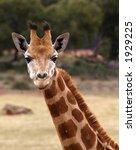giraffe watching | Shutterstock . vector #1929225