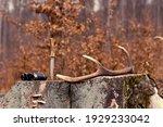 Young Red Deer  Cervus Elaphus  ...