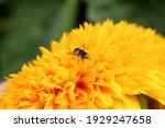 An Insect Fly Sits On A Yellow...